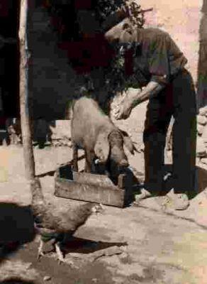 El abuelo Eladio, cebando al cerdo para la matanza.